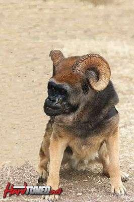 tn_goat_dog.jpg
